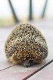 Hedgehog. Brown hedgehog on the board stock image