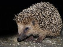 Hedgehog Foto de Stock