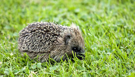 Hedgehog Stock Image