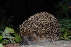 Hedgehog Fotos de Stock