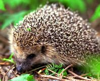 Hedgehog. A European species of hedgehog in an wooden area Stock Photography