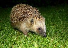hedgehog Стоковые Фотографии RF