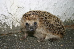 A hedgehog. Looking into the camera. Background is natural with pavement on the ground and a white wall stock photography