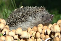 Hedgehog. Closeup of wild hedgehog surrounded by mushrooms Royalty Free Stock Photos