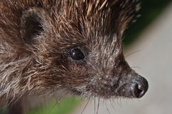 Hedgehog. Close up portrait of hedgehog Royalty Free Stock Image