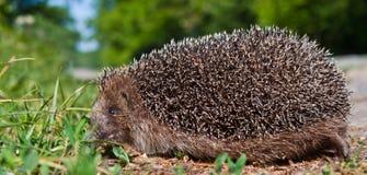 Hedgehog. A cute hedgehog in the grass Stock Image