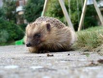 Hedgehog 2 Stock Photo