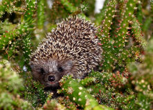 A hedgehog Royalty Free Stock Images