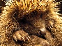 Hedgehog. Closeup of the hedgehogs portrait Stock Photography