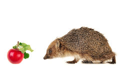 Hedgehog Imagem de Stock Royalty Free