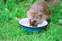 Hedgehog. Wild Hedgehog eating from a dog bowl stock photography