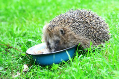 Hedgehog. Wild Hedgehog eating from a dog bowl Royalty Free Stock Image