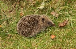 Hedgehog Royalty Free Stock Photos