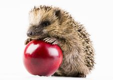 Free Hedgehog Royalty Free Stock Photo - 2190665