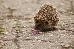 A hedgehog. Smelling a flower on the road stock photo