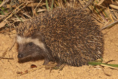 Hedgehog. Smallish; pointed face; distinctive white band of coarse hair on forehead; Distinctive covering of dense short spines on upper parts; roll up in a ball Stock Image