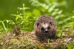 hedgehog Стоковое фото RF