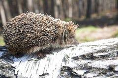 Free Hedgehog Stock Photos - 2448593