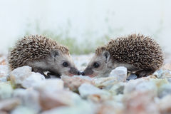 Hedgehog. Animal friend, friendship concept Royalty Free Stock Photos