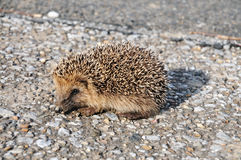 Hedgehog Royalty Free Stock Photography