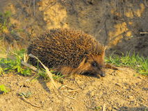 Hedgehog. A hedgehog walking in the morning Royalty Free Stock Photography