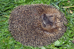 A hedgehog Royalty Free Stock Image