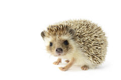 Free Hedgehog Stock Image - 27167641
