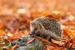 Free Hedgehog Royalty Free Stock Photos - 27550138