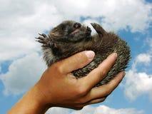 hedgehog Стоковые Фото