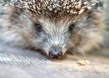 Hedgehog Foto de Stock