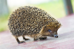 Hedgehog. Brown hedgehog on the board Stock Images