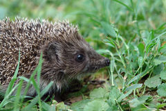 Hedgehog. Baby hedgehog roaming over the grass stock photos