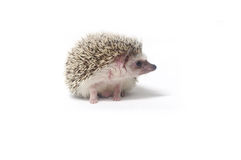 Hedgehog. A cute little hedgehog  on a white background Stock Images
