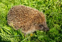 Hedgehog. A small hedgehog makes its way througt the grass Royalty Free Stock Photography