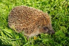 hedgehog Стоковая Фотография RF
