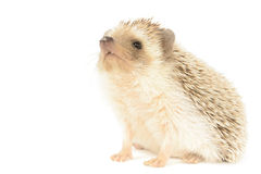 Free Hedgehog Stock Images - 30890064