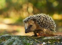 Free Hedgehog Royalty Free Stock Image - 33669016