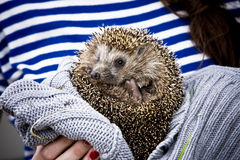 Hedgehog. Little hedgehog in hands of a girl Stock Image