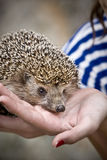Hedgehog. Little hedgehog in hands of a girl Stock Photo