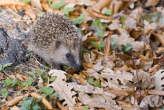 Hedgehog Stock Photo