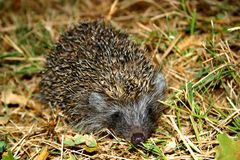 Hedgehog. In its natural habitat Royalty Free Stock Images