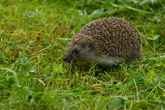 hedgehog Royalty-vrije Stock Foto