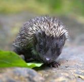 hedgehog fotografie stock