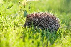 hedgehog Royalty-vrije Stock Fotografie