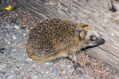 hedgehog Stockfoto
