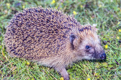 hedgehog Stock Fotografie