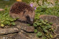 Hedgehog. Stock Photos