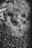 hedgehog Lizenzfreies Stockfoto