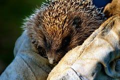 hedgehog royalty-vrije stock afbeelding