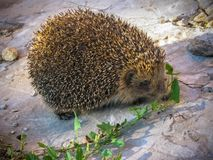 hedgehog Fotografia Stock Libera da Diritti